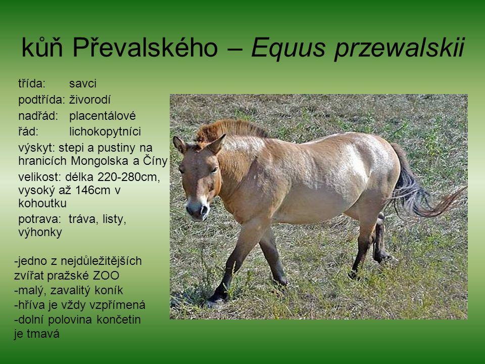 kůň Převalského – Equus przewalskii