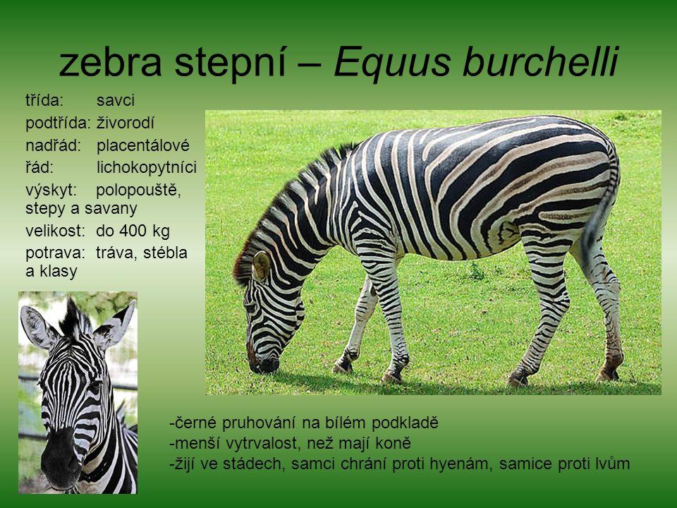 zebra stepní – Equus burchelli