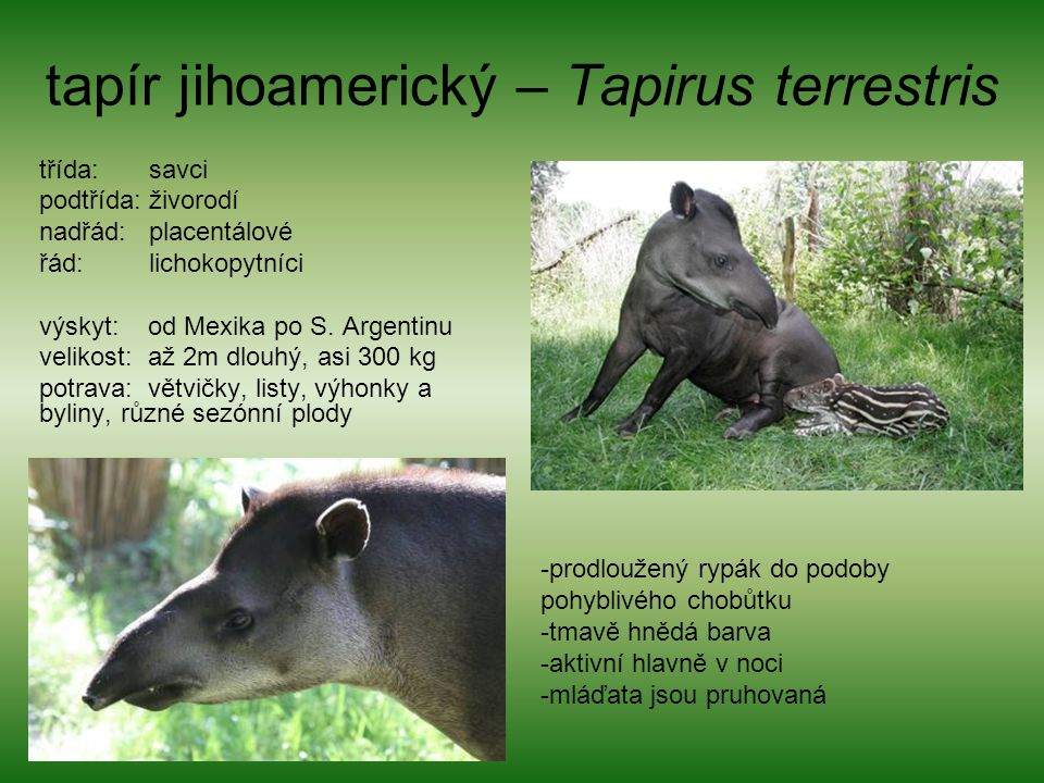 tapír jihoamerický – Tapirus terrestris