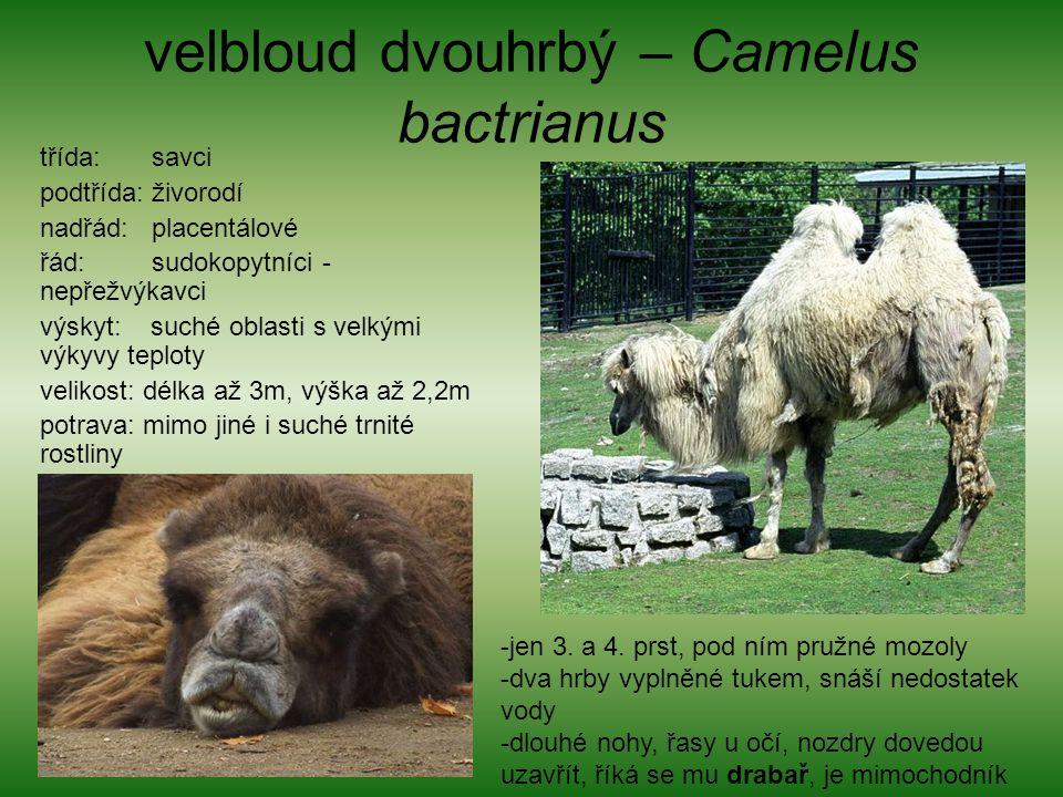 velbloud dvouhrbý – Camelus bactrianus