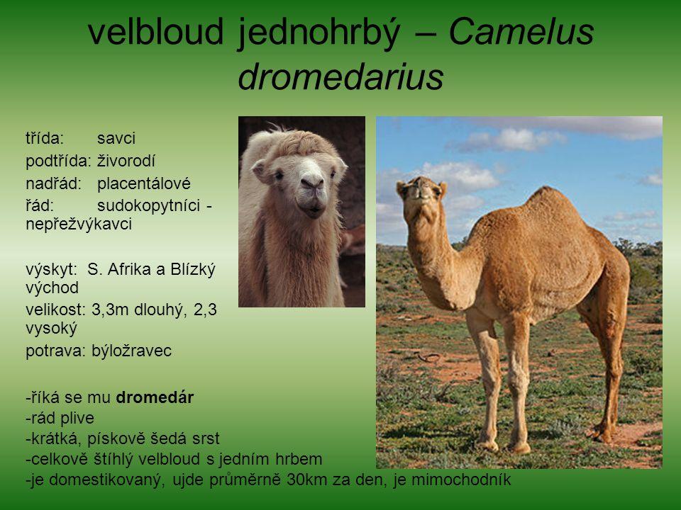 velbloud jednohrbý – Camelus dromedarius