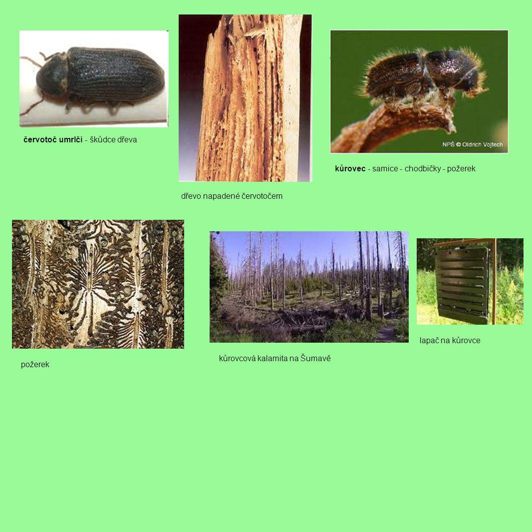 červotoč umrlčí - škůdce dřeva