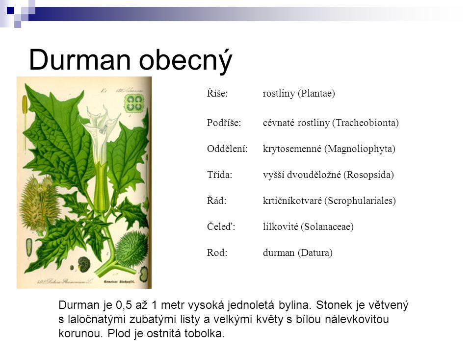 Durman obecný Říše: rostliny (Plantae) Podříše: cévnaté rostliny (Tracheobionta) Oddělení: krytosemenné (Magnoliophyta)