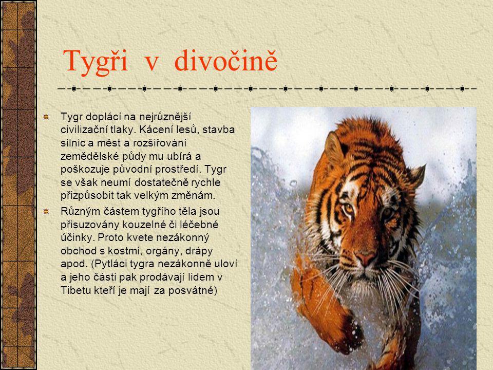Tygři v divočině