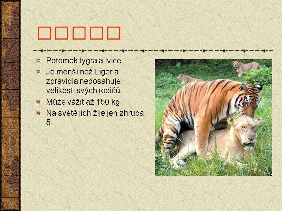 Tigon Potomek tygra a lvice.