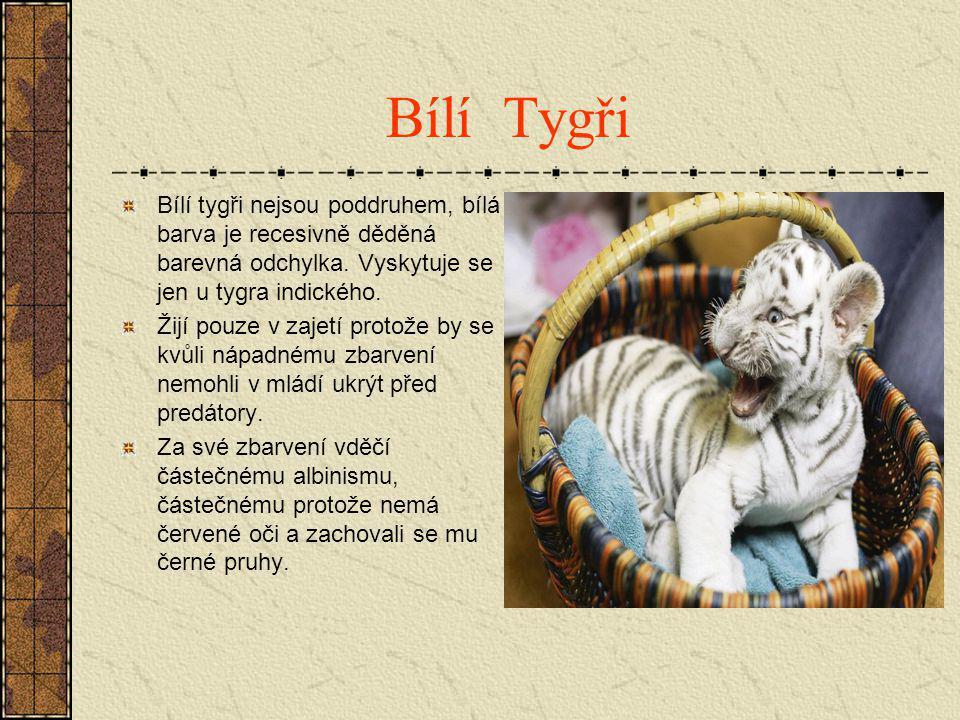 Bílí Tygři Bílí tygři nejsou poddruhem, bílá barva je recesivně děděná barevná odchylka. Vyskytuje se jen u tygra indického.