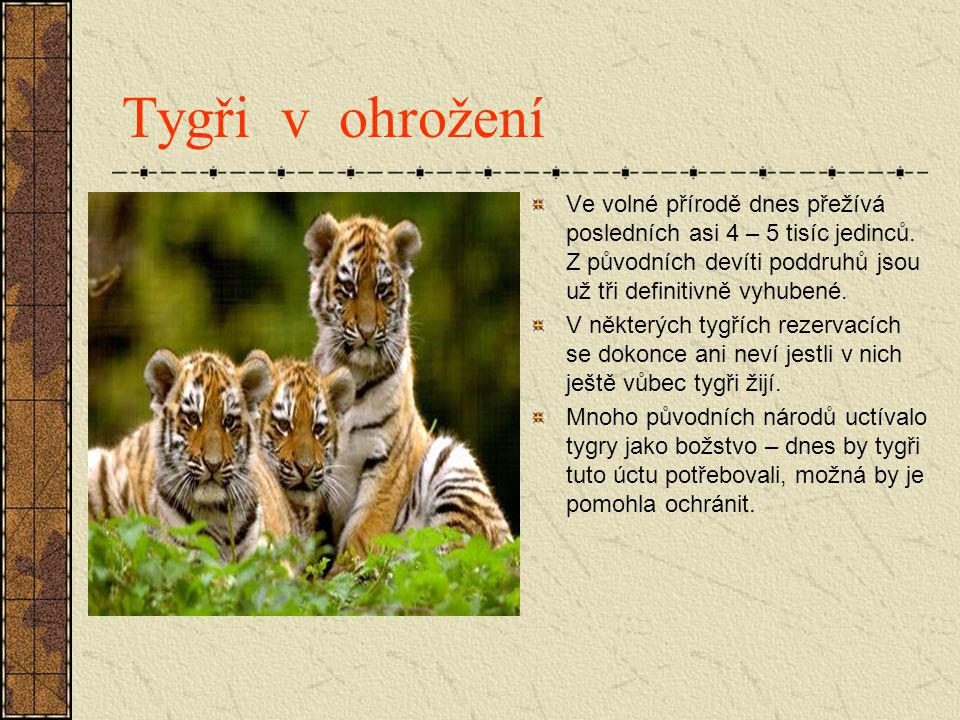 Tygři v ohrožení Ve volné přírodě dnes přežívá posledních asi 4 – 5 tisíc jedinců. Z původních devíti poddruhů jsou už tři definitivně vyhubené.