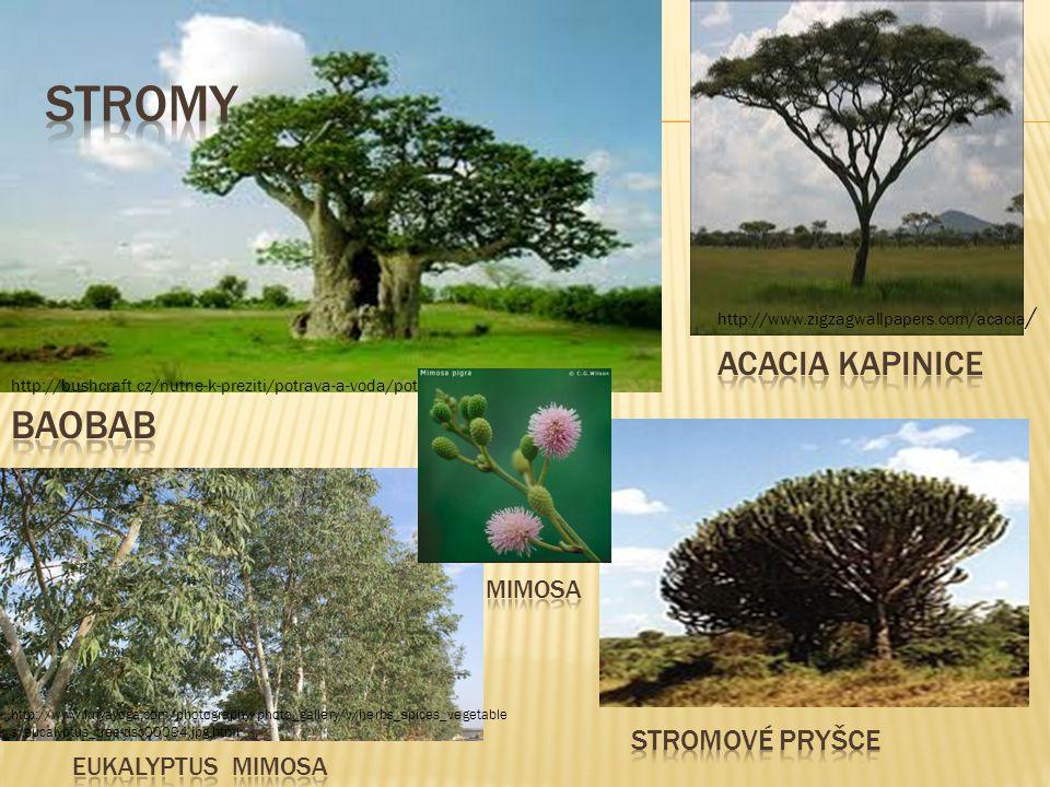 stromy baobab Acacia kapinice stromové pryšce mimosa Eukalyptus mimosa