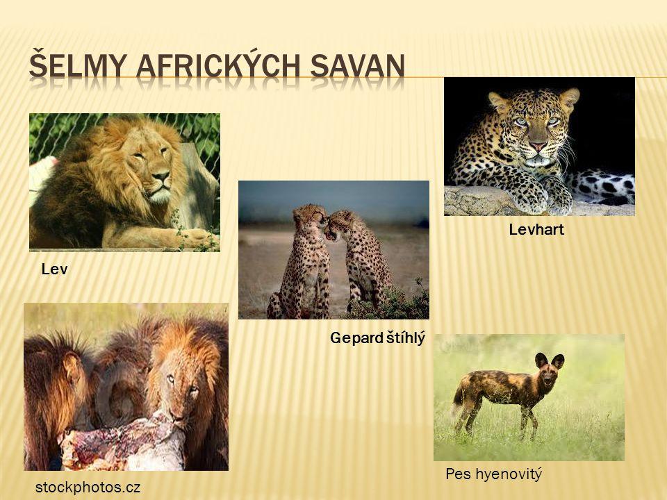 Šelmy afrických savan Levhart Lev Gepard štíhlý Pes hyenovitý