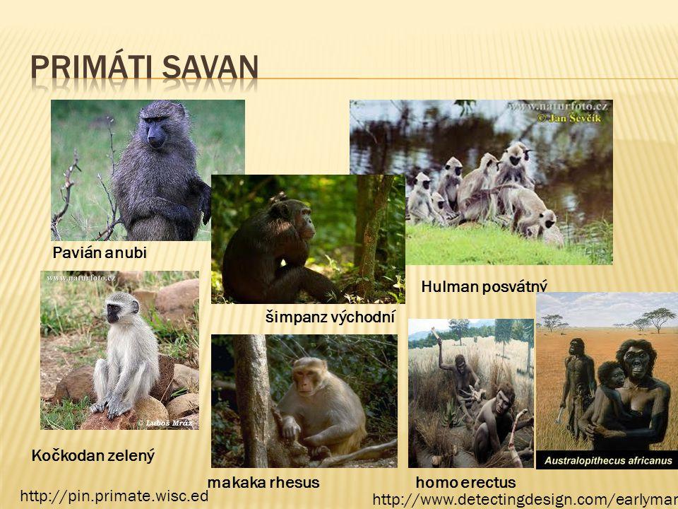 Primáti savan Pavián anubi Hulman posvátný šimpanz východní