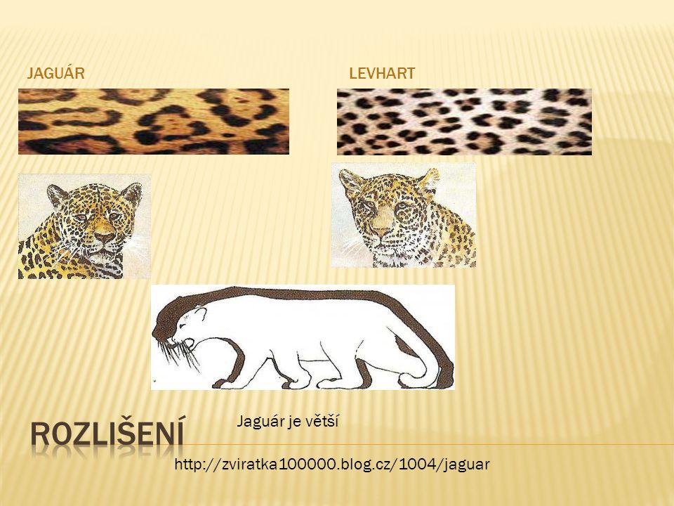 rozlišení jaguár levhart Jaguár je větší