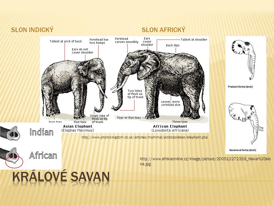 Králové savan Slon indický Slon africký