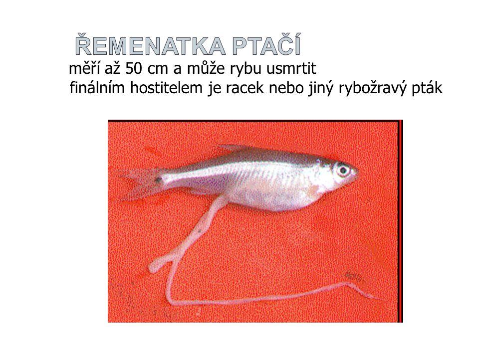 řemenatka ptačí měří až 50 cm a může rybu usmrtit