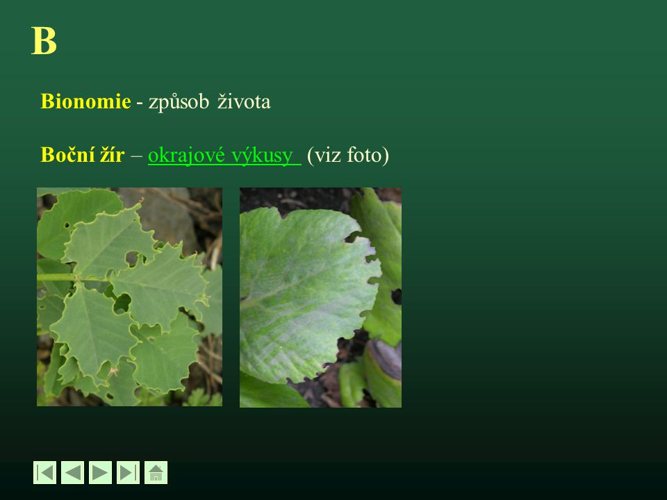 B Bionomie - způsob života Boční žír – okrajové výkusy (viz foto)