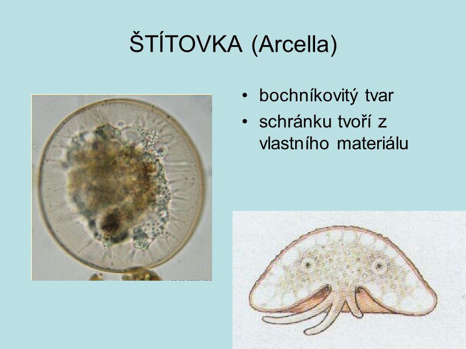 ŠTÍTOVKA (Arcella) bochníkovitý tvar