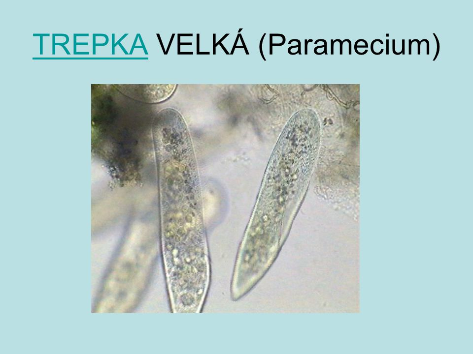 TREPKA VELKÁ (Paramecium)