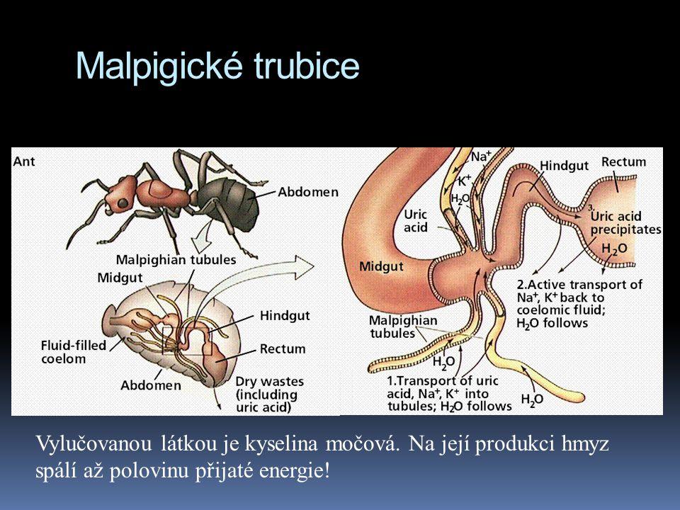 Malpigické trubice Vylučovanou látkou je kyselina močová.
