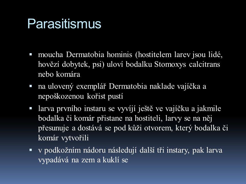 Parasitismus moucha Dermatobia hominis (hostitelem larev jsou lidé, hovězí dobytek, psi) uloví bodalku Stomoxys calcitrans nebo komára.
