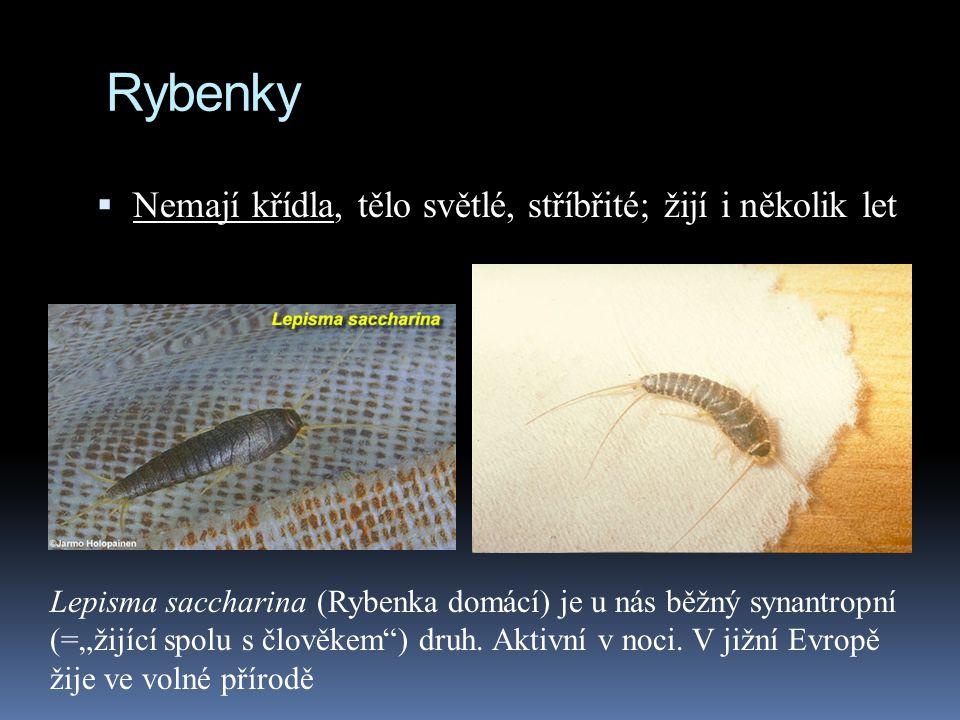 Rybenky Nemají křídla, tělo světlé, stříbřité; žijí i několik let