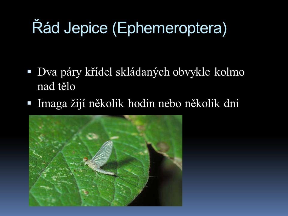 Řád Jepice (Ephemeroptera)