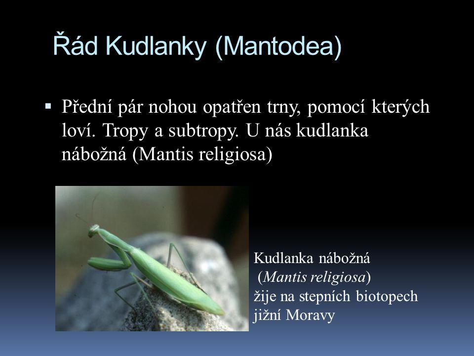 Řád Kudlanky (Mantodea)
