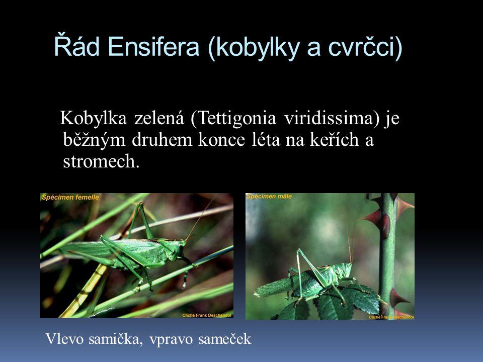 Řád Ensifera (kobylky a cvrčci)