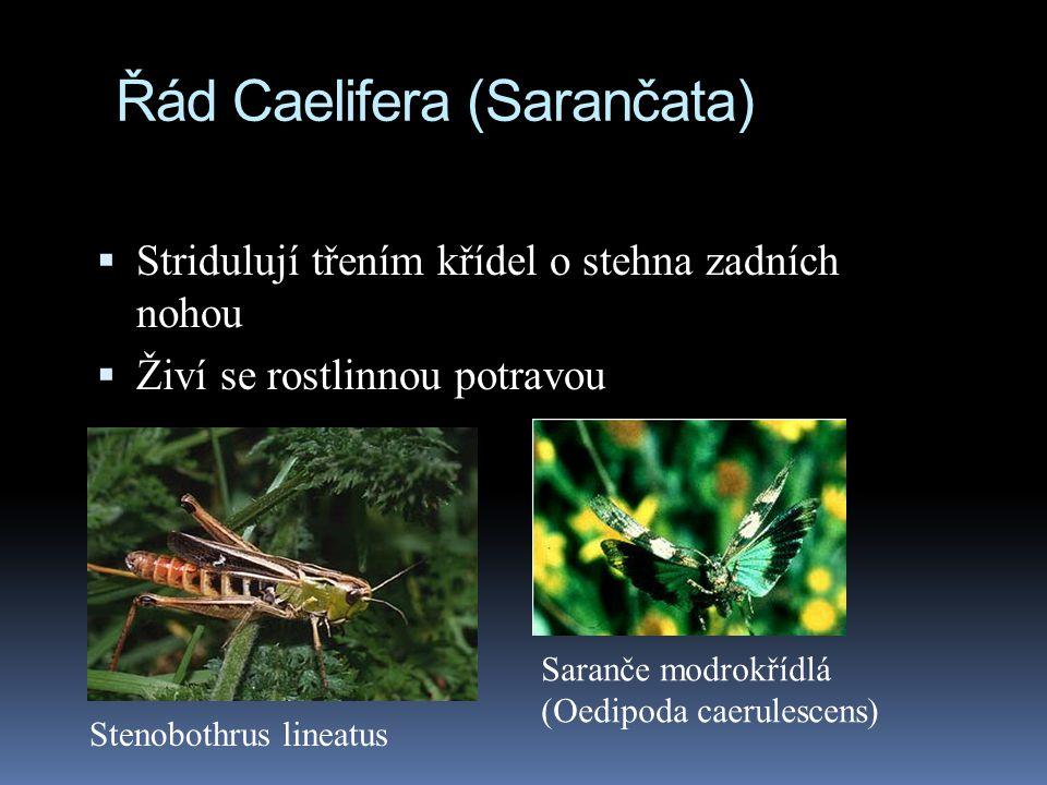 Řád Caelifera (Sarančata)