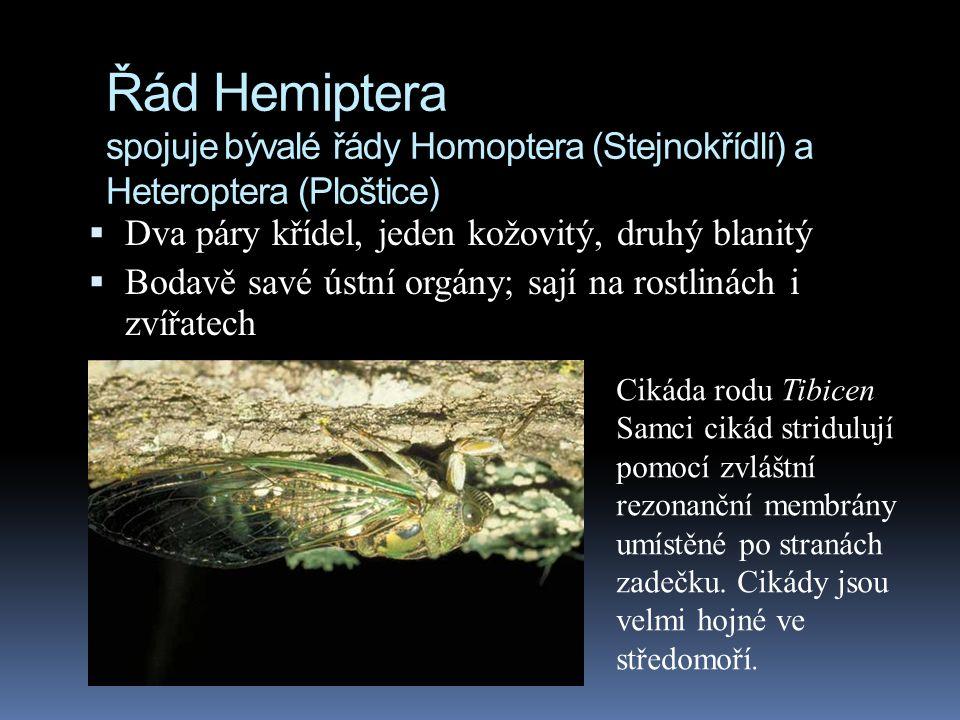 Řád Hemiptera spojuje bývalé řády Homoptera (Stejnokřídlí) a Heteroptera (Ploštice)