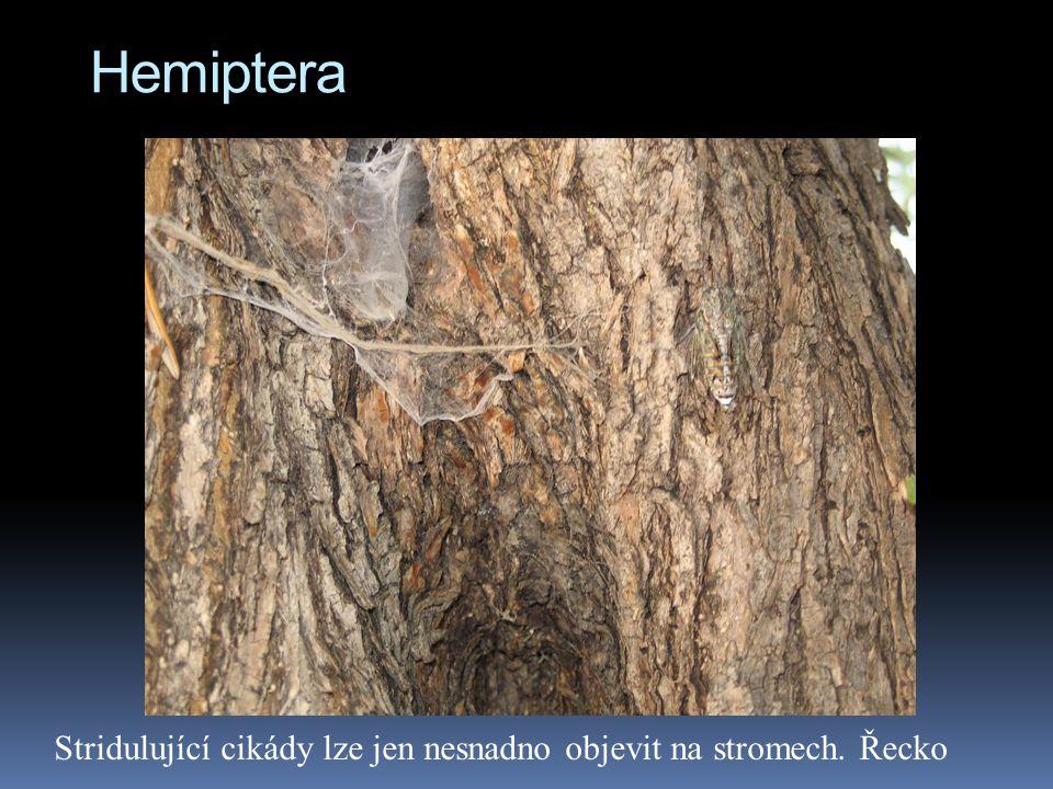 Hemiptera Stridulující cikády lze jen nesnadno objevit na stromech. Řecko