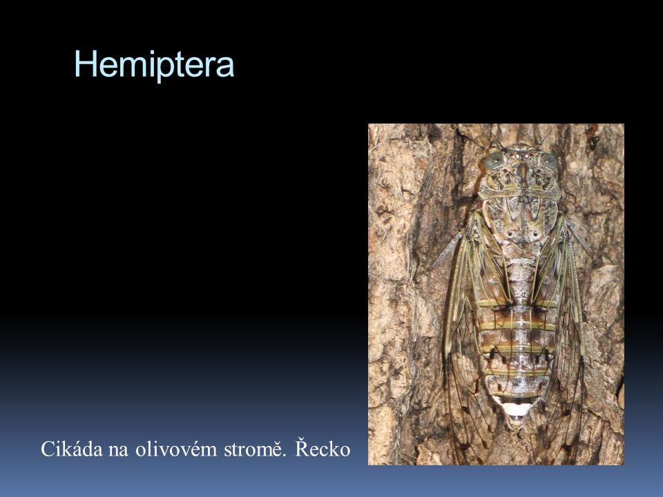 Hemiptera Cikáda na olivovém stromě. Řecko