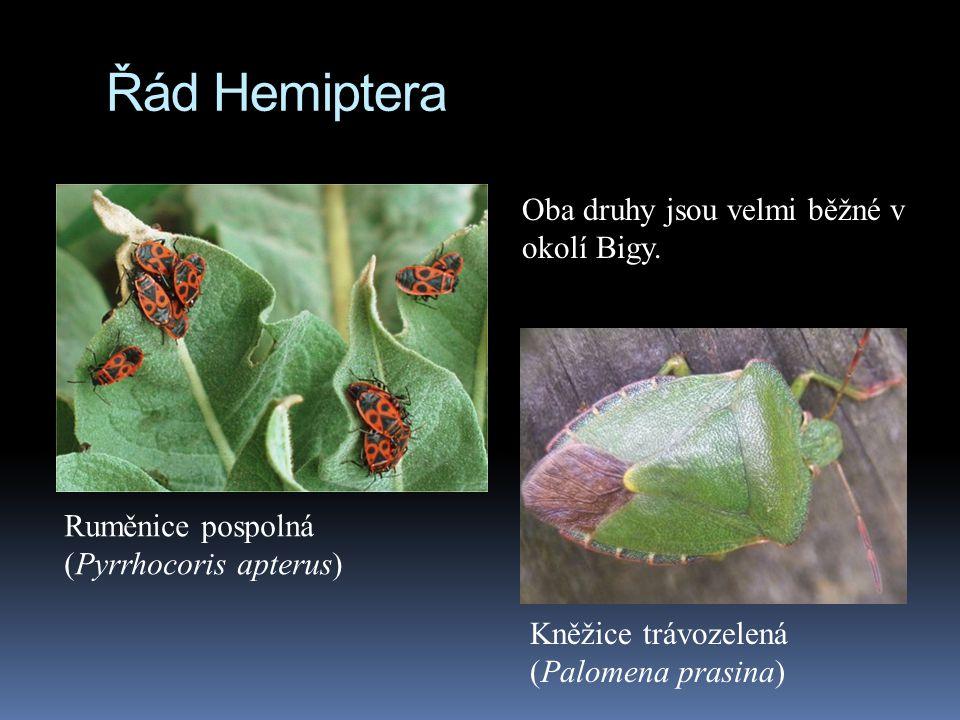 Řád Hemiptera Oba druhy jsou velmi běžné v okolí Bigy.