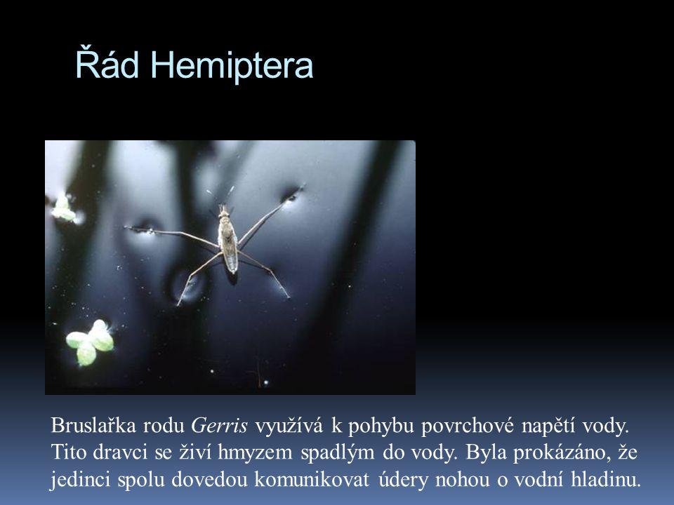Řád Hemiptera
