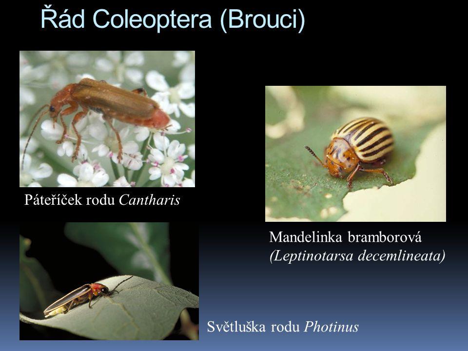 Řád Coleoptera (Brouci)