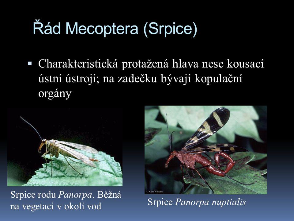 Řád Mecoptera (Srpice)