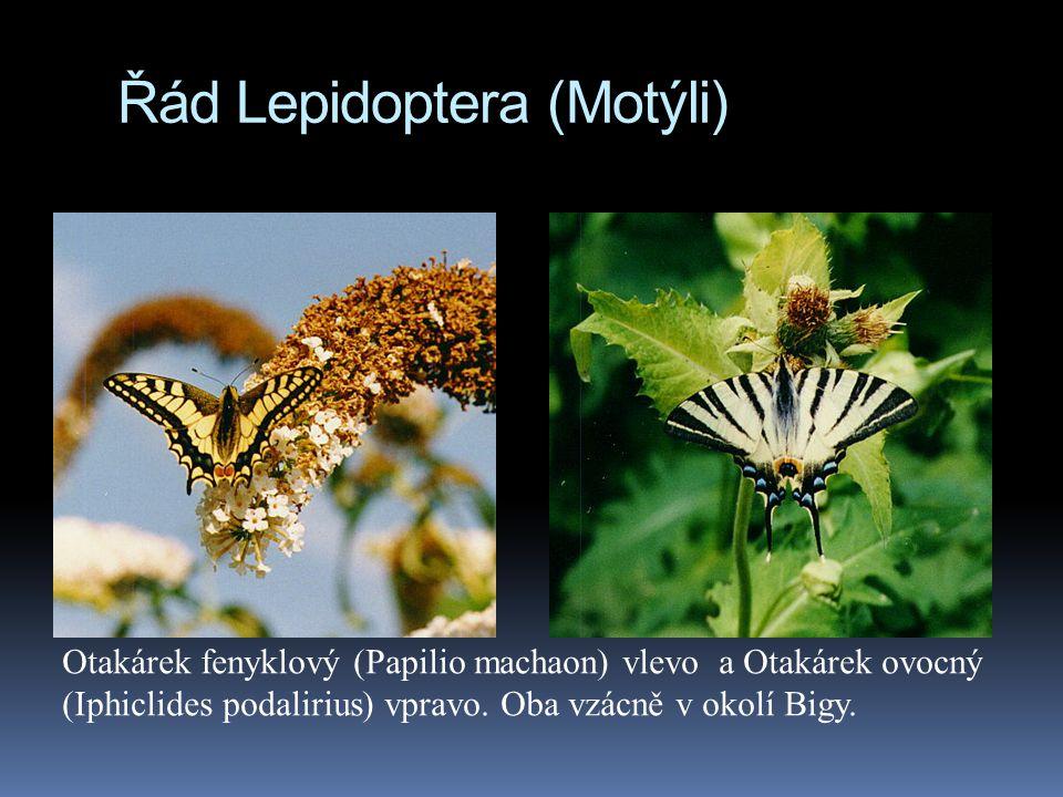 Řád Lepidoptera (Motýli)