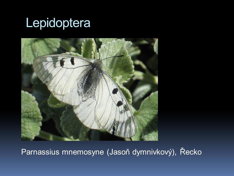 Lepidoptera Parnassius mnemosyne (Jasoň dymnivkový), Řecko