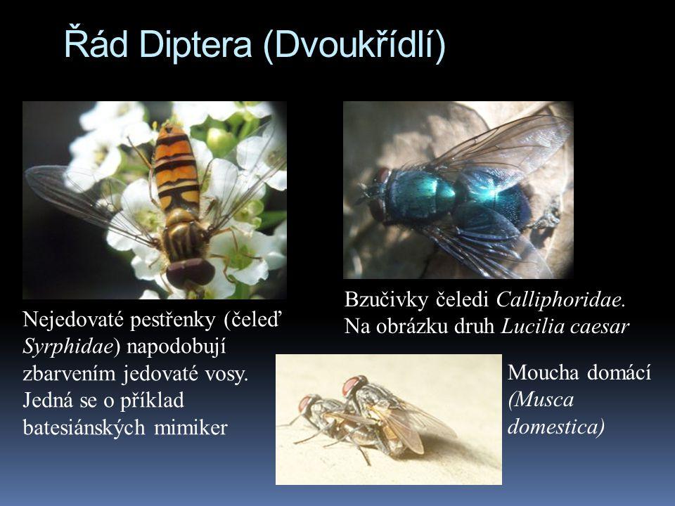 Řád Diptera (Dvoukřídlí)
