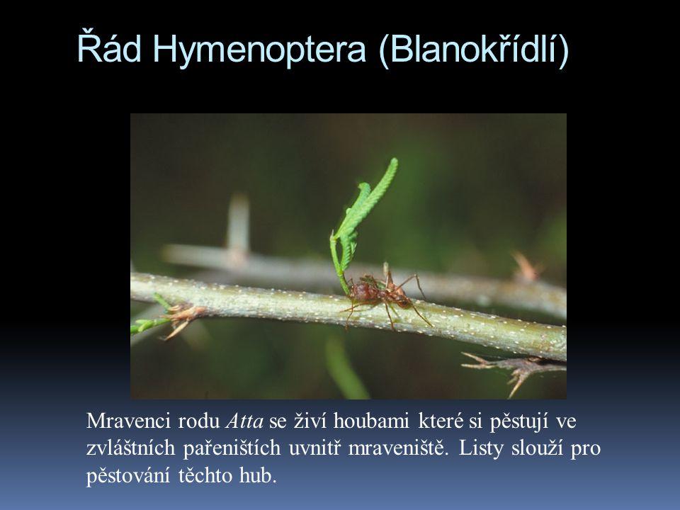 Řád Hymenoptera (Blanokřídlí)