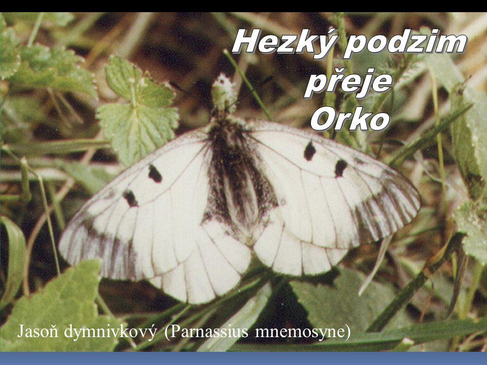 Hezký podzim přeje Orko Jasoň dymnivkový (Parnassius mnemosyne)