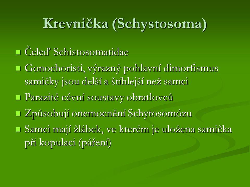 Krevnička (Schystosoma)
