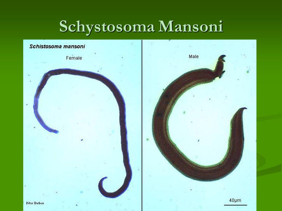 Schystosoma Mansoni