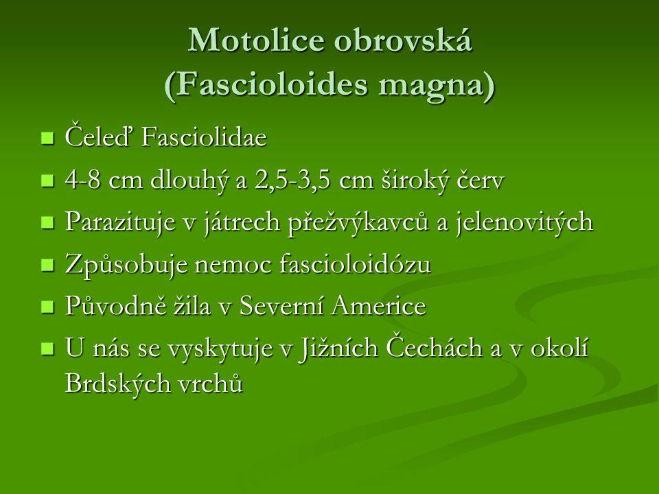 Motolice obrovská (Fascioloides magna)