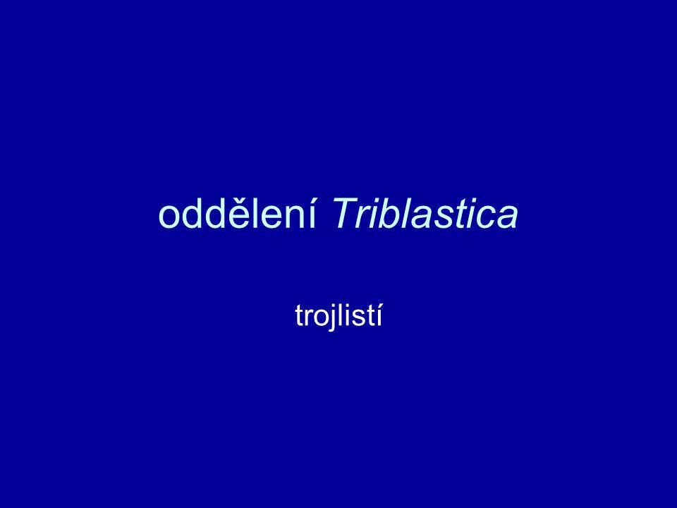 oddělení Triblastica trojlistí