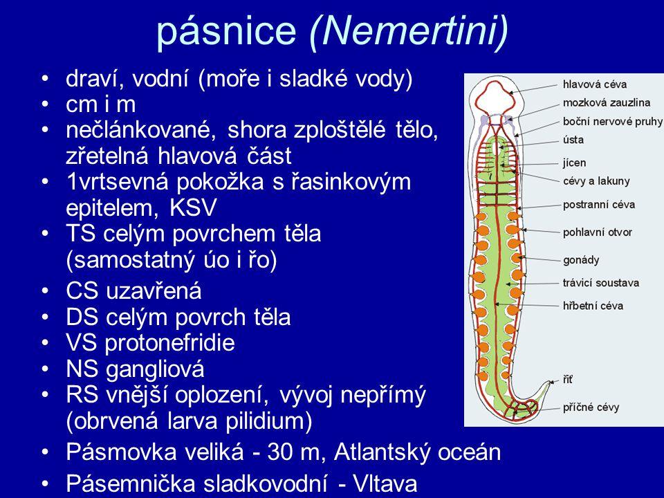 pásnice (Nemertini) draví, vodní (moře i sladké vody) cm i m