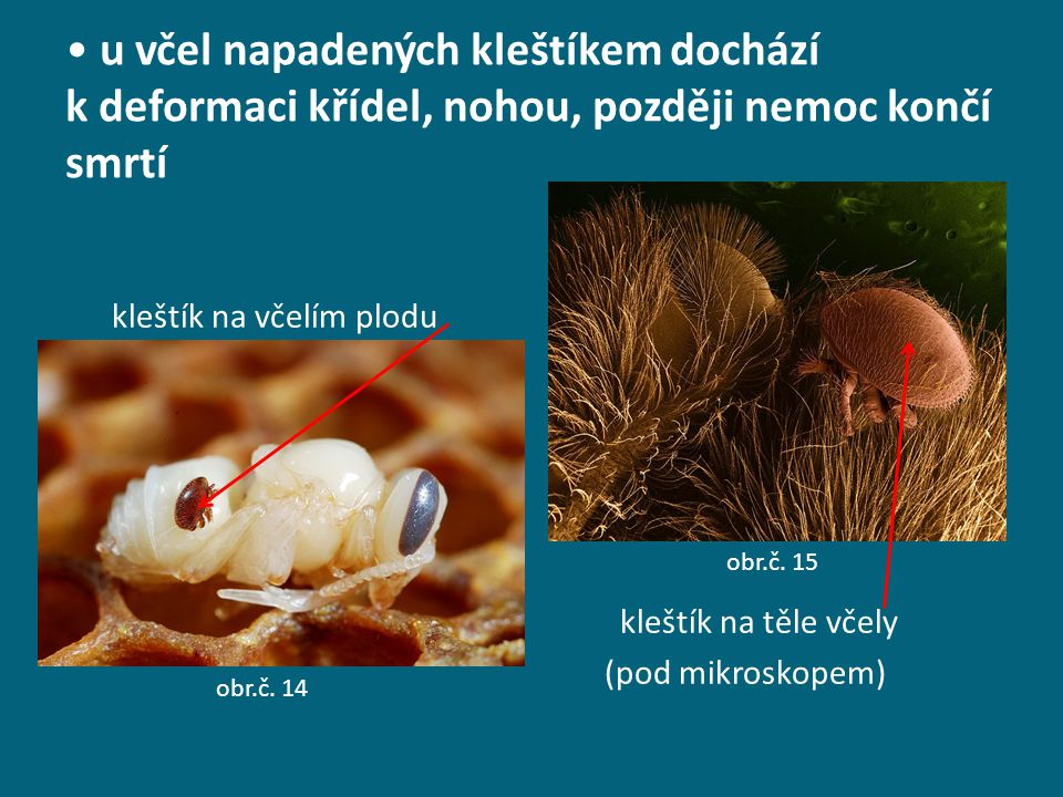 u včel napadených kleštíkem dochází k deformaci křídel, nohou, později nemoc končí smrtí