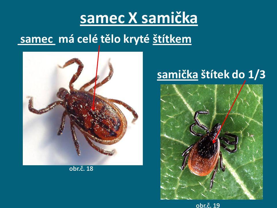 samec X samička samec má celé tělo kryté štítkem samička štítek do 1/3
