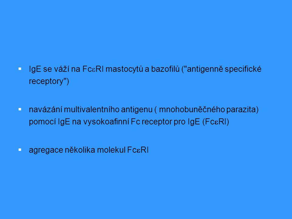 IgE se váží na FceRI mastocytů a bazofilů ( antigenně specifické receptory )