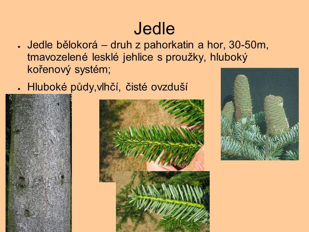 Jedle Jedle bělokorá – druh z pahorkatin a hor, 30-50m, tmavozelené lesklé jehlice s proužky, hluboký kořenový systém;