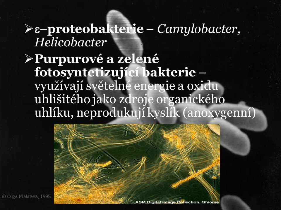 e-proteobakterie – Camylobacter, Helicobacter