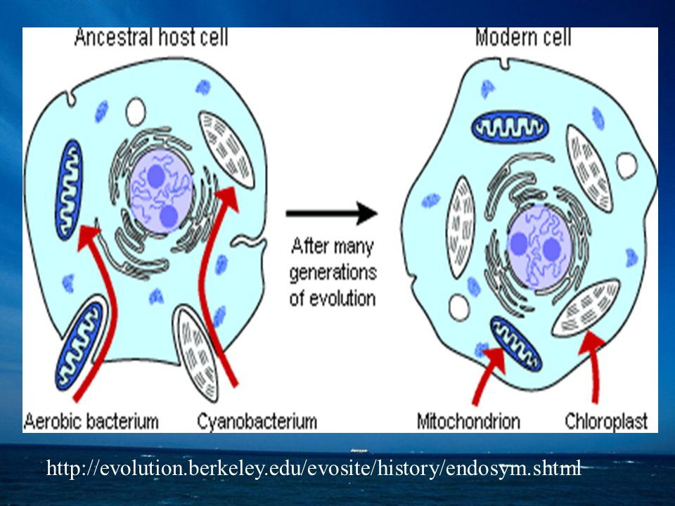http://evolution.berkeley.edu/evosite/history/endosym.shtml